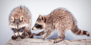 common roofing problems, raccoons in the roof, animals living in my roof, help with roofing, roofers in Denver, top rated roofers in Denver, Denver's best rated roofing company, Property Pros Inc, Colorado roofing company, roofing Lakewood CO
